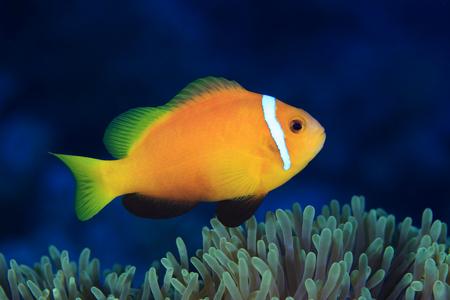 amphiprion: Maldive anemonefish Stock Photo