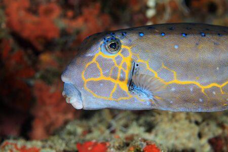 boxfish: Yellow boxfish
