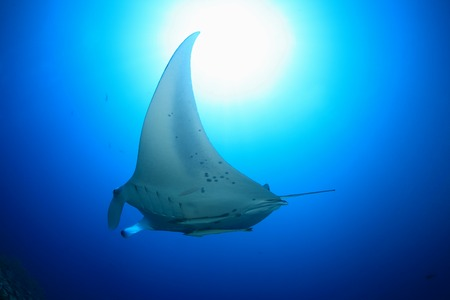 sealive: Giant manta ray Stock Photo