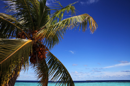 welling: Palm with coconut and lagoon of tropical Iceland