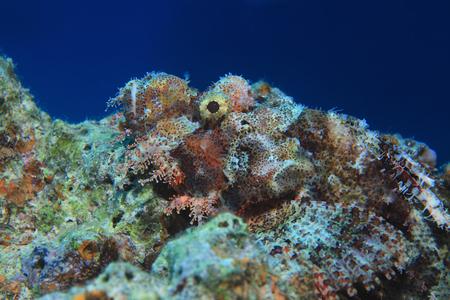 scorpionfish: Flathead scorpionfish