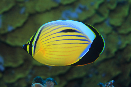chaetodontidae: Polyp butterflyfish Stock Photo