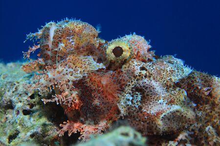 flathead: Flathead scorpionfish