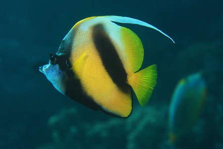 bannerfish: Red sea bannerfish