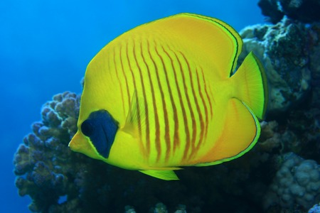 chaetodon: Masked butterflyfish