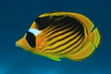 chaetodontidae: Diagonal butterflyfish Stock Photo