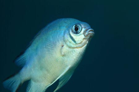 damsel: Whitebelly damsel fish Stock Photo