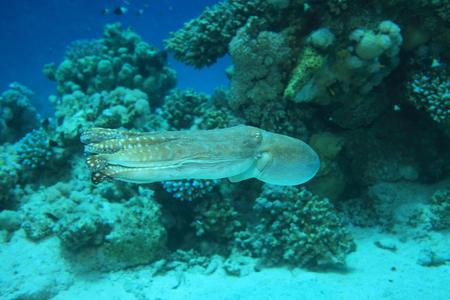 sharm el sheik: Reef octopus