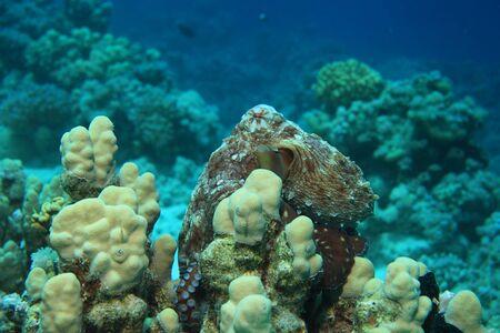 harmless: Reef octopus