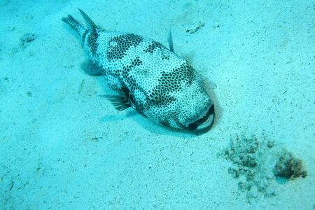 arothron: Giant puffer fish