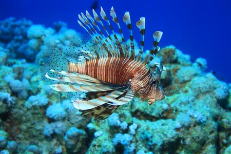 lionfish: Common lionfish