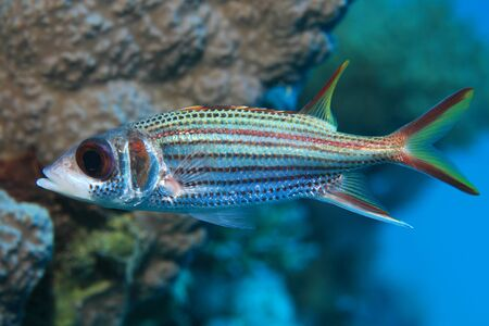 Sammara squirrelfish Stock Photo