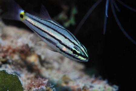 sealive: Fifeline cardinalfish