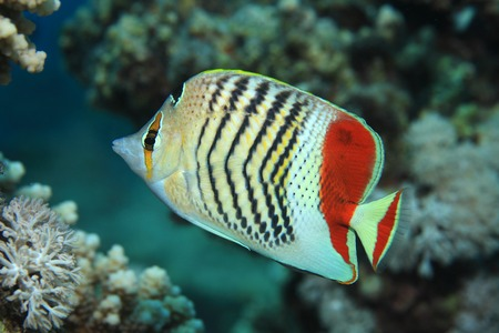 chaetodontidae: Redback butterflyfish Stock Photo