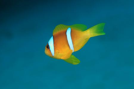amphiprion bicinctus: Red sea anemonefish