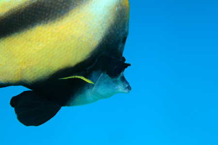chaetodontidae: Red sea bannerfish