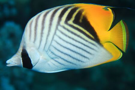chaetodontidae: Threadfin butterflyfish