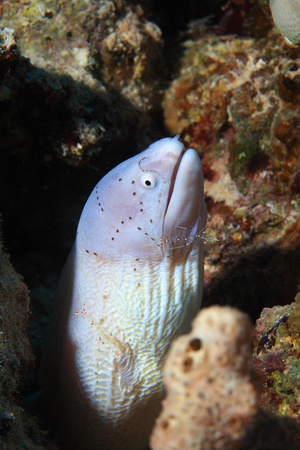 sheik: Grey moray eel