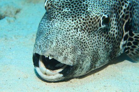 puffer: Giant puffer fish