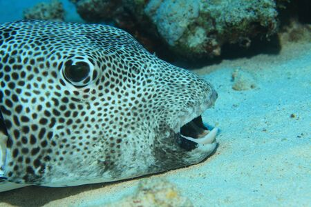 sharm el sheik: Giant puffer fish