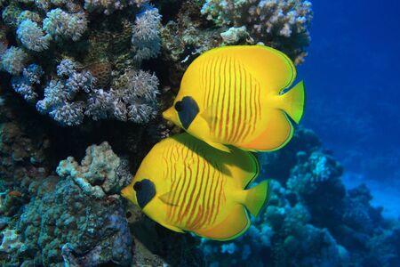butterflyfish: Masked butterflyfish