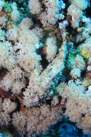 scorpionfish: Bearded scorpionfish