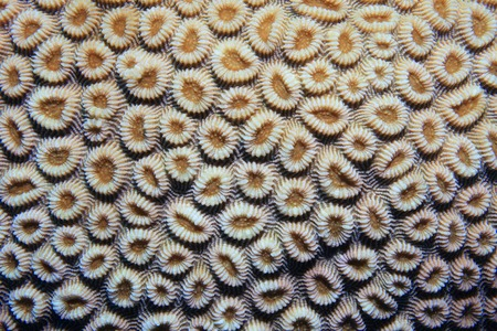 polyps: Coral polyps of brain coral