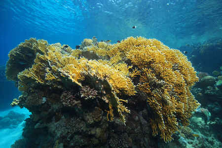 stony coral: Fire corals underwater in the coral reef