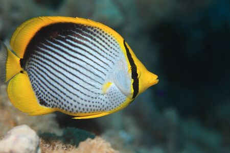 Blackbacked butterflyfish