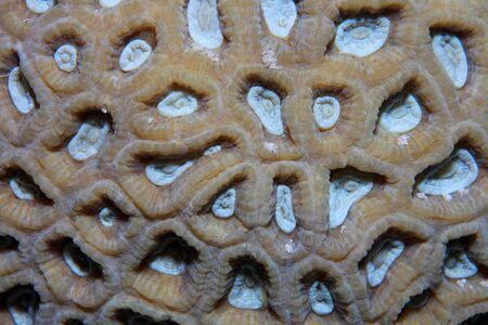 sharm el sheik: Colonial stony coral Stock Photo