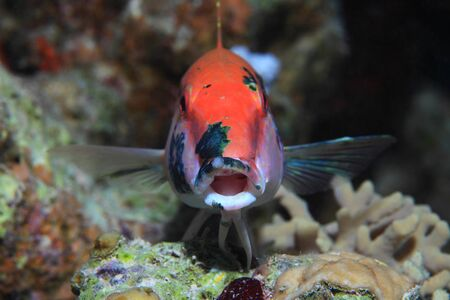 Mouth of Redstriped goatfish