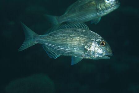 sharm el sheik: Red sea seabream fish Stock Photo