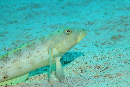 sealive: Speckled sandperch fish