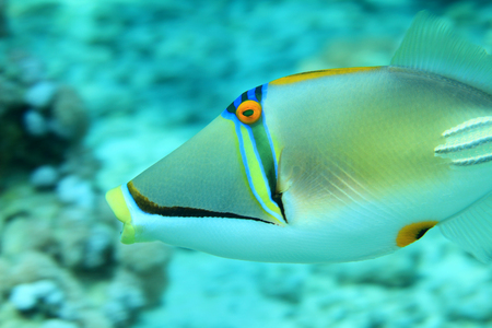 triggerfish: Picasso triggerfish Stock Photo