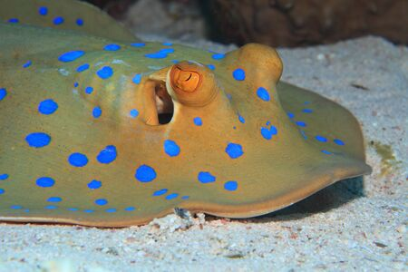 Bluespotted stingray Stock Photo