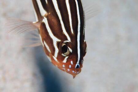 Sixstriped soapfish