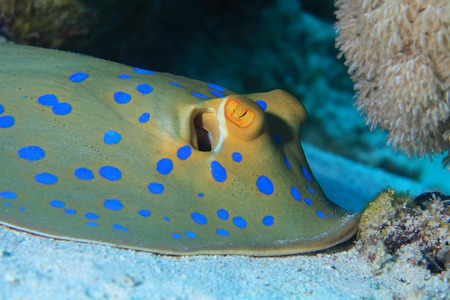 Bluespotted ribbontal stingray