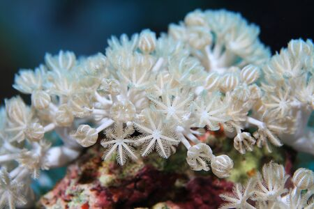 softcoral: White pulse coral