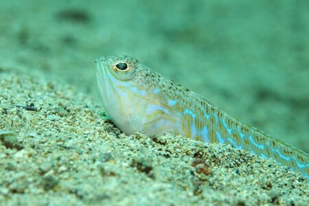 Greater weever fish Stock Photo