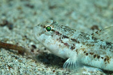 sealive: Slender goby fish