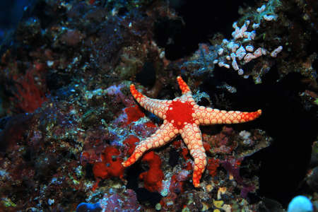 wildlive: Noduled sea star (Fromia nodosa) underwater on the bottom of the sea