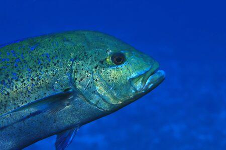 Bluefin trevally fish