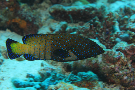Peacock hind grouper fish (Cephalopholis argus) in the tropical coral reef of the Maldives Stock Photo