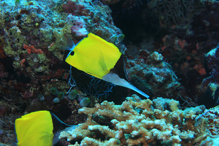 chaetodontidae: Longnose butterflyfish (Forcipiger longirostris) underwater in the tropical coral reef Stock Photo