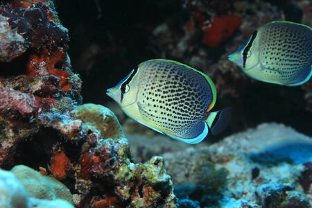chaetodontidae: Peppered butterflyfish (Chaetodon guttatissimus) underwater in the tropical coral reef Stock Photo