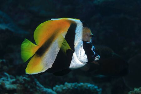 chaetodontidae: Masked bannerfish (Heniochus monoceros) underwater in the tropical waters of the indian ocean Stock Photo