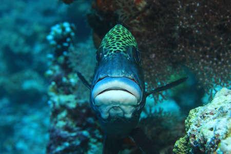 dive trip: Harlequin sweetlips fish