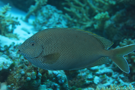 Brown-spotted spinefoot rabbitfish