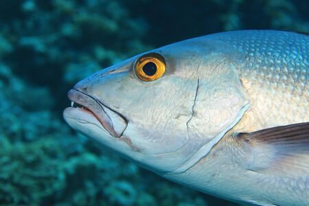 Head of two-spot red snapper fish