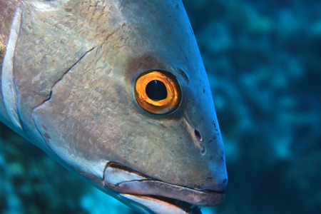 Eye of two-spot red snapper fish